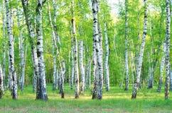 Bäume der Birke stockbild