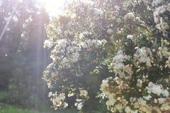 Bäume in der Blüte Lizenzfreie Stockfotos