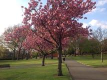Bäume in der vollen rosa Blüte stockbild