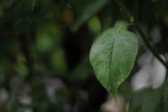 Bäume des grünen Paprikas wachsen stockfotos
