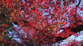 Bäume des japanischen Ahornholzes stock footage