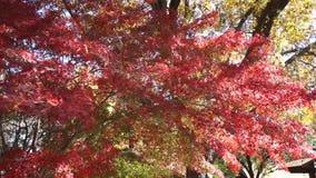 Bäume des japanischen Ahornholzes stock video