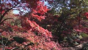 Bäume des japanischen Ahornholzes stock video footage