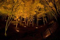 Bäume des japanischen Ahornholzes Lizenzfreies Stockfoto