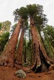 Bäume des riesigen Mammutbaums im Mammutbaum-Nationalpark lizenzfreies stockfoto