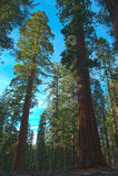 Bäume des riesigen Mammutbaums oder Sierra Rotholz Lizenzfreie Stockfotos