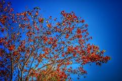 Bäume des roten Ahornholzes lizenzfreie stockbilder