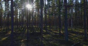 Bäume des Waldes Fliegenabflussrinnen-Baum- des Waldesholz stock footage