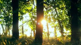 Bäume des Waldes Fliegenabflussrinnen-Baum- des Waldesholz Baum-Schattenbild Sonnenaufflackernsonnenuntergang Feld des grünen Gra stock video