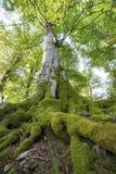Bäume des Waldes Grüne hölzerne Sonnenlichthintergründe der Natur Stockbild