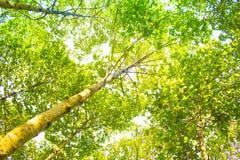 Bäume des Waldes Grüne hölzerne Sonnenlichthintergründe der Natur Stockbilder
