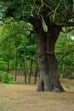 Bäume des Waldes hölzerne Sonnenlichthintergründe Khudat Aserbaidschan des Naturgrüns lizenzfreie stockfotos