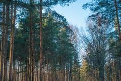 Bäume des Waldes am sonnigen Wintertag Lizenzfreies Stockbild