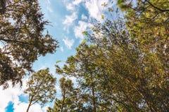 Bäume, die für den Himmel erreichen Stockfotos