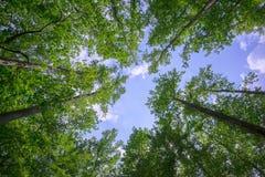 Bäume, die für den Himmel erreichen Lizenzfreie Stockfotografie