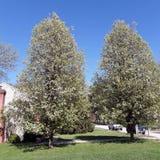 Bäume, die im Sommer blühen stockbild