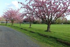 Bäume, die rosa Blumen haben Stockfotografie
