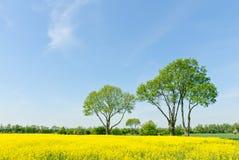 Bäume an einem Rapssamenfeld Lizenzfreies Stockfoto