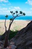 Bäume einer blühende Flasche im Dragon Blood-Baumwald, Homhil-Hochebene, Socotra, der Jemen Stockbilder