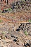 Bäume einer blühende Flasche im Schutzgebiet von Dixam-Hochebene, Socotra-Insel, der Jemen Stockfotografie