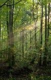 Bäume in einer weichen Leuchte des frühen Morgens Lizenzfreie Stockbilder