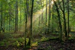 Bäume in einer weichen Leuchte des frühen Morgens Stockbilder