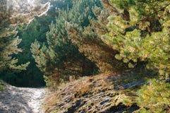Bäume eingehüllt in Spinnennetze, Kiefernwald bei Sonnenaufgang stockbild