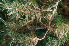 Bäume eingehüllt in Spinnennetze, Tannenzweige mit Nadeln lizenzfreies stockbild