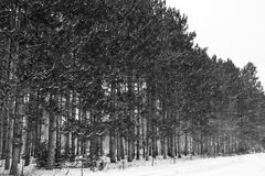 Bäume in Folge ausgerichtet im Winterschnee Lizenzfreies Stockbild