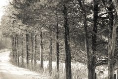 Bäume in Folge ausgerichtet im Winterschnee Lizenzfreies Stockfoto