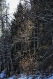 Bäume Forest Winter Outdoors Snow Light lizenzfreie stockbilder