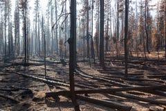 Bäume gebrannt von Forest Fire Lizenzfreie Stockfotos