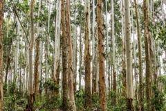Bäume im brasilianischen Wald Stockbild