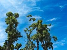 Bäume im Himmel Stockfotografie