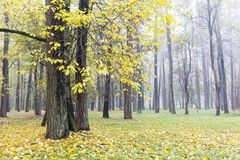 Bäume im Nebel mit gelben gefallenen Blättern aus den Grund Herbst herein Lizenzfreies Stockbild