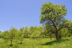 Bäume im Obstgarten Lizenzfreies Stockfoto
