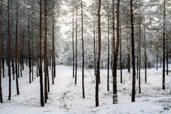 Bäume im Wald im Winter Lizenzfreie Stockbilder