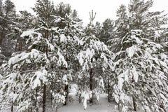 Bäume im Wald im Winter Lizenzfreie Stockfotografie