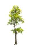 Bäume lokalisiert auf weißem Hintergrund Lizenzfreie Stockfotos
