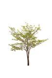 Bäume lokalisiert auf weißem Hintergrund Lizenzfreie Stockbilder