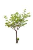 Bäume lokalisiert auf weißem Hintergrund Lizenzfreies Stockbild