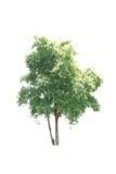 Bäume lokalisiert mit weißem Hintergrund Stockbilder