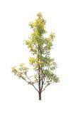 Bäume lokalisiert mit weißem Hintergrund Stockfotografie