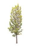Bäume lokalisiert mit weißem Hintergrund Stockbild