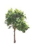 Bäume lokalisiert mit weißem Hintergrund Stockfoto