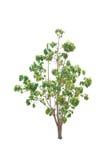Bäume lokalisiert mit weißem Hintergrund Stockfotos