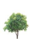 Bäume lokalisiert mit weißem Hintergrund Lizenzfreies Stockfoto
