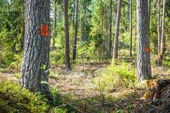 Bäume markiert für Abholzung/das Ernten des Waldes stockfotos
