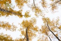 Bäume mit gelben Blättern gegen den Himmel Ansicht von unten Herbst Lizenzfreie Stockfotos