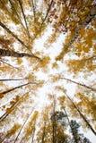 Bäume mit gelben Blättern gegen den Himmel Ansicht von unten Herbst Lizenzfreie Stockfotografie